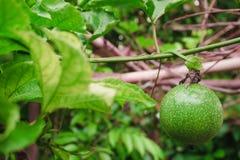 在新绿色的西番莲果从果子没有被烹调,准备 免版税库存图片