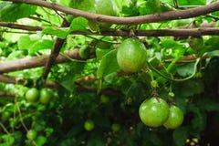 在新绿色的西番莲果从果子没有被烹调,准备 库存图片