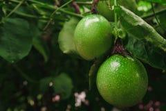 在新绿色的西番莲果从果子没有被烹调,准备 免版税库存照片