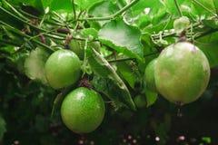 在新绿色的西番莲果从果子没有被烹调,准备 库存照片