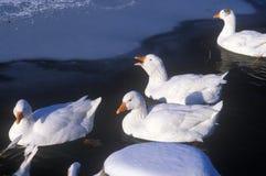 在新英格兰的鸭子在冬天, NY筑成池塘 免版税库存照片