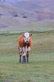在新西兰农田的母牛家畜 库存图片