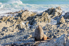在新西兰海岸的取暖的海狗 库存图片