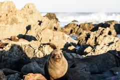 在新西兰海岸的取暖的海狗 免版税库存图片