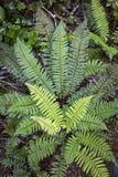 在新西兰的雨林的绿色蕨 免版税库存图片