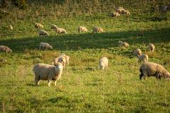 在新西兰绵羊的金黄下午日落 免版税库存图片