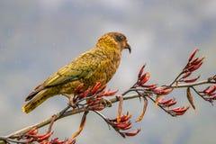 在新西兰胡麻的凯阿岛鹦鹉 库存照片