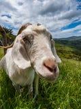 在新西兰风景的山羊 库存照片