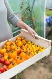 在新近地拿着有蕃茄harvestin的妇女的特写镜头一个条板箱 免版税库存图片