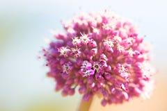 在新鲜的桃红色花的秀丽当春天和夏天开花宏指令c 免版税图库摄影