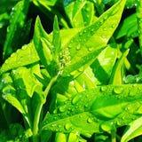 在新鲜的绿色叶子的干净的露滴 免版税库存图片