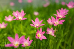 在新鲜的绿色线性叶子,相当开花在早晨阳光下的微小的生动的花冠的美丽的矮小的桃红色雨百合瓣, 库存照片