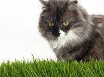 在新鲜的绿草的灰色家猫在白色 库存图片