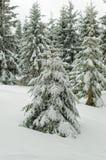 在新鲜的雪的杉树在一个冬天森林里在阴暗天空下 库存图片