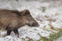 在新鲜的雪的野公猪 图库摄影
