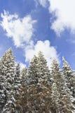 在新鲜的雪盖的美丽的杉树 免版税库存照片