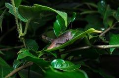 在新鲜的绿色叶子上的一只棕色蚂蚱在森林, Th里 库存照片