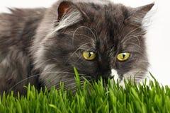 在新鲜的绿草的灰色家猫在白色 免版税库存照片