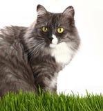 在新鲜的绿草的灰色家猫在白色 库存照片