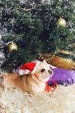 戴在新年内部的可爱的奇瓦瓦狗狗一个红色帽子 免版税库存照片