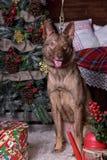 在新年的背景的美丽的棕色狗 免版税库存照片