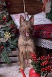 在新年的背景的美丽的棕色狗 图库摄影