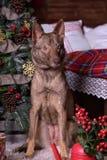 在新年的背景的美丽的棕色狗 免版税图库摄影