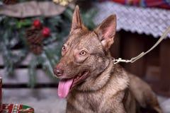 在新年的背景的美丽的棕色狗 库存照片