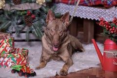 在新年的背景的美丽的棕色狗 库存图片