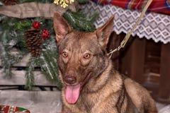 在新年的背景的美丽的棕色狗 免版税库存图片