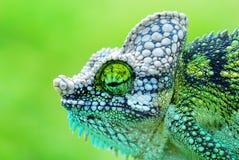 变色蜥蜴 库存例证