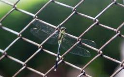 在方形的铁丝网的蜻蜓 免版税库存照片