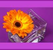 在方形的玻璃花瓶的一朵明亮的橙色大丁草花 库存图片