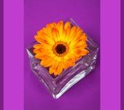 在方形的玻璃花瓶的一朵明亮的橙色大丁草花 图库摄影