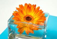 在方形的玻璃花瓶的一朵明亮的橙色大丁草花 免版税图库摄影
