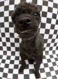 在方格的背景的滑稽的看的狗 免版税库存图片