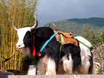 在旅游业事务的一头牦牛 免版税库存照片