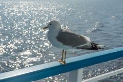 在旅游船的栏杆的海鸥 库存图片