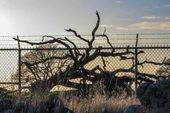 在旋风篱芭后的被监禁的下落的橡树在日落 免版税图库摄影