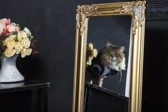 在无尾礼服的缅因浣熊 库存图片