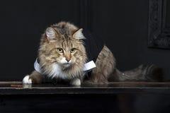 在无尾礼服的缅因浣熊 免版税库存图片
