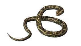 在无所事事的姿势的Python蛇 库存图片