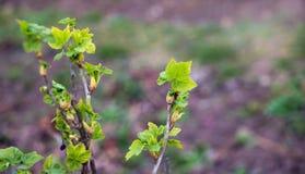 在无核小葡萄干分支的第一片绿色叶子在早期的spring_ 库存图片
