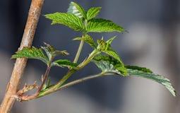在无核小葡萄干分行的年轻人叶子 免版税库存照片