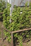 在无核小葡萄干布什附近的木制框架在早期的春天 免版税库存照片