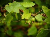 在无核小葡萄干灌木的绿色叶子与雨珠的 免版税图库摄影