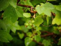 在无核小葡萄干灌木的绿色叶子与雨珠的 免版税库存图片