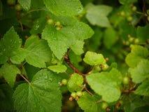 在无核小葡萄干灌木的绿色叶子与雨珠的 库存图片