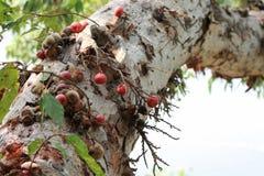 在无花果树分支的无花果  免版税库存照片
