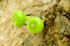 在无花果树的分支的无花果 免版税库存图片